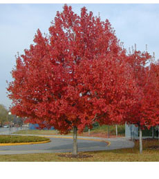 Red-Maple tree