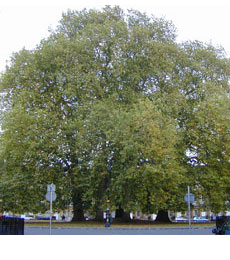 london plane tree planting guide