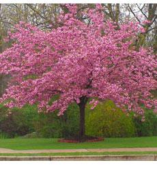 Kwanzan-Cherry tree
