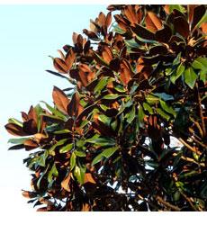 Magnolia-grandiflora tree