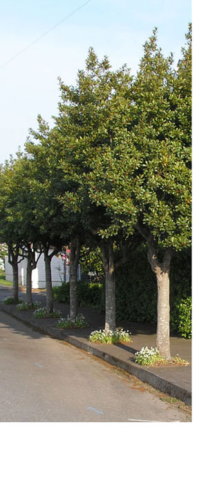 street trees in Eureka