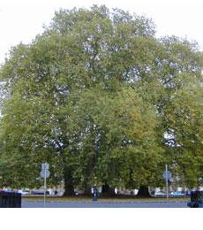 london-plane tree